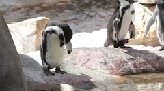 Humboldt Penguins Self Grooming Stock Footage