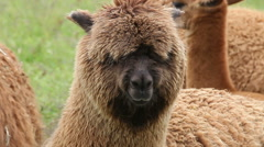 Portrait of chewing alpaca with eyes overgrown by wool Stock Footage