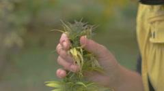 Homegrown Marijuana Plant Stock Footage