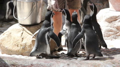 Humbolt Penguins Being Fed by Zookeeper Stock Footage