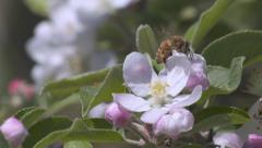 Stock Video Footage of slow motion bees in orchard pollination