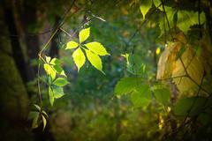 Virginia Creeper Leaf Stock Photos