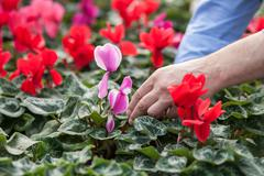 Skillful old garden worker at plant nursery - stock photo