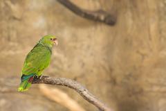 Lovebird Parrot Stock Photos