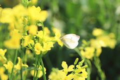 Rape flowers and butterfly in the countryside - stock photo
