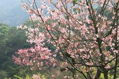 Cherry blossoms,pink flowers blooming in the countryside - stock photo