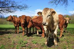 Farming livestock animals Stock Photos