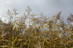 Reeds in fall colors - stock photo