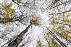 Low angle view of aspen trees with yellow leaves in autumn Stock Photos