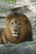 Inside a pride of African Lion - Panthera leo - stock photo