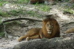 Inside a pride of African Lion - Panthera leo Stock Photos