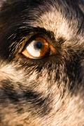 Intense Canine Dog Wolf Animal Eye Pupil Unique Color - stock photo