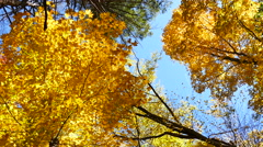 Stock Video Footage of Golden maple leaves. Connecticut
