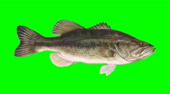 Beautiful Illustration of Bass Fish Swiming on a Green Screen Background Stock Footage