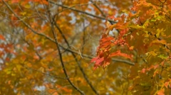 Colorful leaves during fall season - stock footage