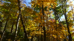 Stock Video Footage of Golden maple leaves whith sun ray