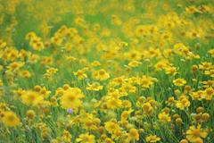 Yellow flower bed Stock Photos