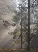 Autumnal morning in the forest with mist among pines and spruce trees, Bialow Stock Photos