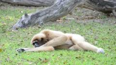 White Cheeked Gibbon or Lar Gibbon Stock Footage