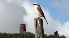 Red backed shrike bird Stock Footage