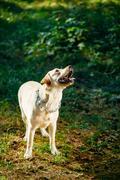 White Labrador Retriever Dog Looking Up, Forest, Park Stock Photos