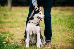 Young Happy Husky Puppy Eskimo Dog Outdoor In Autumn - stock photo