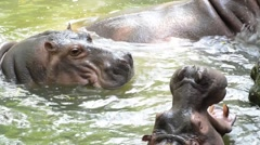 Hippopotamus with mouth wide open - stock footage