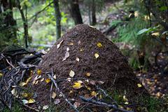 Big anthill in the woods. - stock photo