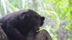 Asiatic black bear (ursus thibetanus) Stock Footage