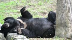 Asiatic black bear (ursus thibetanus) - stock footage
