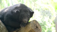 Asiatic black bear (ursus thibetanus) sleeping - stock footage
