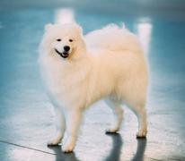 White Samoyed Dog Puppy Whelp Standing on Floor - stock photo