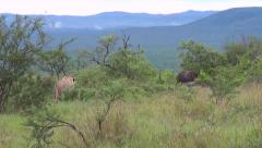 Lioness stalking buffalo Stock Footage