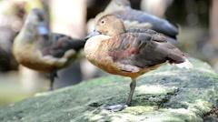 Female Mallard Duck Stock Footage