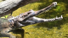 Crocodile in the water Stock Footage