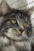 Stock Photo of A beautiful young tabby Maine Coon
