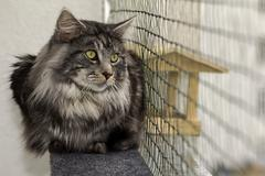 A beautiful young tabby Maine Coon Stock Photos