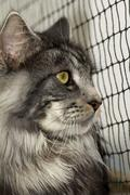 A beautiful young tabby Maine Coon - stock photo