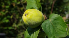 Quince fruit in fall Stock Footage