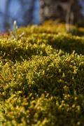 Moss sporophytes Stock Photos