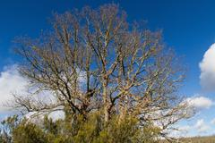 Great Oak Tree with Heather - stock photo