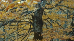 Beech tree in Autumn, static view with centered trunk Stock Footage