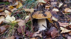Mushrooming in autumn Stock Footage