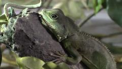 Young Chinese Water Dragon Stock Footage