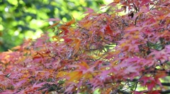 Red japanese maple tree Stock Footage