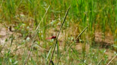 Crimson dragonfly on a stem Stock Footage