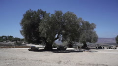 Two old ancient olive trees move in the wind, Galilee, Israel Stock Footage