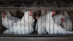 Chickens in crowded battery cages, animal rights, close up, shallow DOF Stock Footage