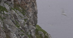 Pan from Ocean to Kittiwake Nests on Arctic Bird Cliff Stock Footage