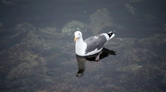 Lone Seagull Swimming In Shallow Bay Water Stock Footage